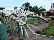 esqueleto de ballena en la paloma